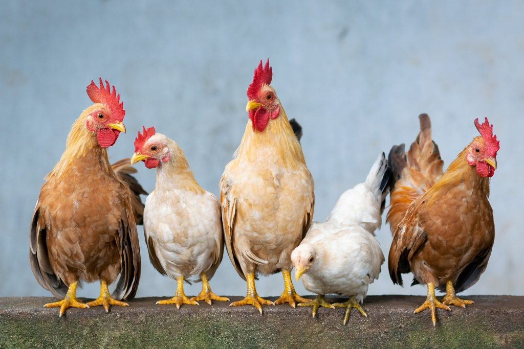 Calcium supplements for Chickens: Feeding for Stronger Egg shells
